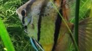 Angel (Peruvian Altum)